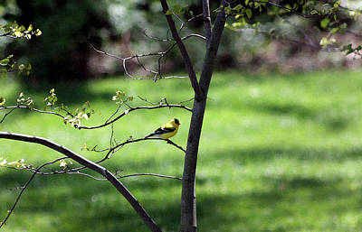 Resting Yellow Finch Poster
