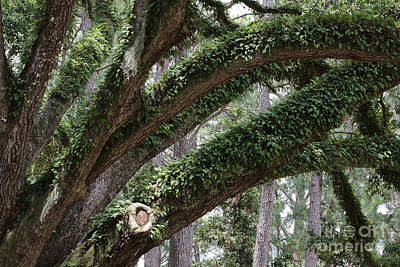Resurrection Fern On Live Oak Branches Poster