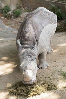 Rhino Eats Hay  Poster by Vadim Goodwill