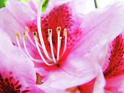 Rhodies Flower Macro Pink Rhododendron Baslee Troutman Poster by Baslee Troutman