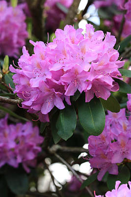Rhododendron Beauty Poster