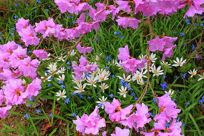 Rhododendron Bloodroot In Garden Poster by John Burk