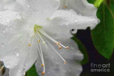 Rhododendron Blossom Poster