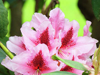Rhododendron Floral Art Prints Rhodies Flowers Canvas Baslee Troutman Poster by Baslee Troutman