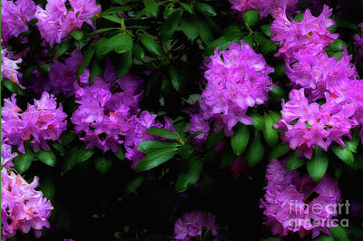 Rhododendron Flower Paintography Poster by Dan Friend