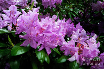 Rhododendron Flowers Bunched Up Poster by Dan Friend