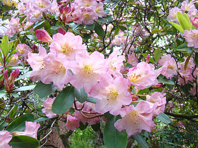 Rhododendron Flowers Garden Art Prints Floral Baslee Troutman Poster by Baslee Troutman