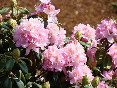 Rhododendron Garden Art Print Pink Rhodies Flowers Baslee Troutman Poster by Baslee Troutman