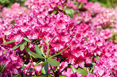 Rhododendron Or Azalea Blossoms Bunch Poster by Arletta Cwalina