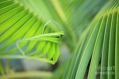 Rhythm Of A Palm Frond Poster by Charmian Vistaunet