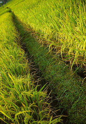 Rice Field Hiking Poster