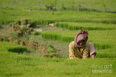 Rice Field Worker Harvests Rice In Green Field In Southeast Asia Poster