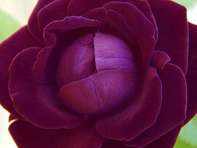 Rich Purple Lettuce Rose Poster by Samantha Thome
