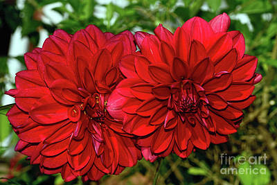 Poster featuring the photograph Rich Red Dahlias By Kaye Menner by Kaye Menner