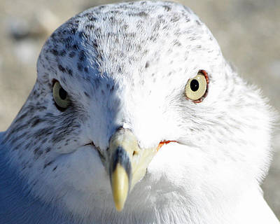 Ring Billed Gull Poster