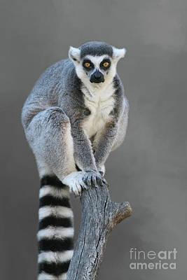 Ring-tailed Lemur #6 V2 Poster