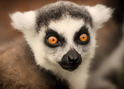 Poster featuring the photograph Ring Tailed Lemur Portrait by Chris Boulton