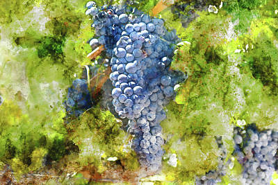 Ripe Red Grapes On The Vine Poster