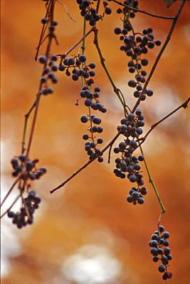 Ripe Wild Grapes  Poster