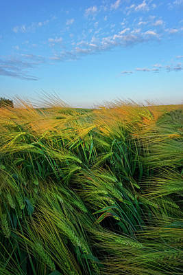 Ripening Barley Poster