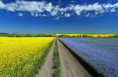 Road Through Flowering Flax And Canola Poster by Dave Reede