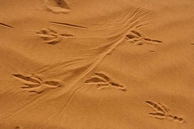 Roadrunner Tracks In The Sand Poster by Michael Melford