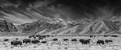 Roaming Bison In Black And White Poster by Mark Kiver