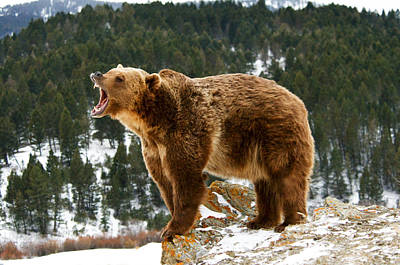 Roaring Grizzly On Rock Poster