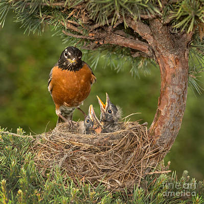 Robin Checking Its Chicks Poster by Jerry Fornarotto