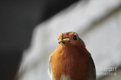 Robin Closeup Poster