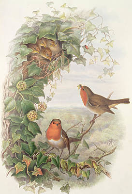 Robin Poster by John Gould