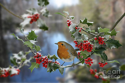 Robin On Holly Branch Poster