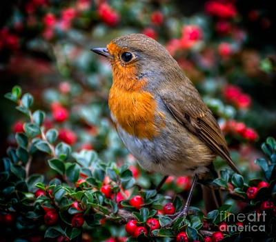 Robin Redbreast Poster by Adrian Evans