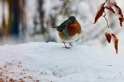Poster featuring the photograph Robin Redbreast by Valerie Anne Kelly