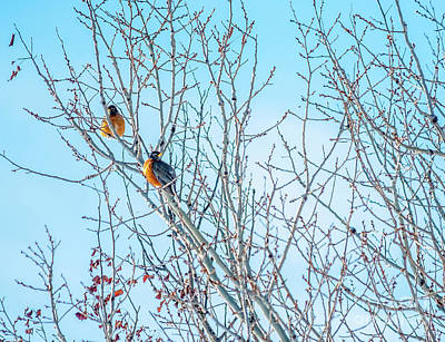 Robins In A Tree Spring Scene Poster by Cheryl Baxter