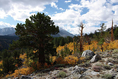Rock Creek Shrub Aspens Eastern Sierra Poster