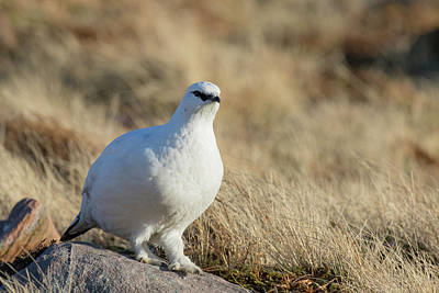 Poster featuring the photograph Rock Ptarmigan by Karen Van Der Zijden