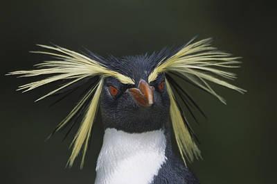 Rockhopper Penguin Eudyptes Chrysocome Poster by Tui De Roy