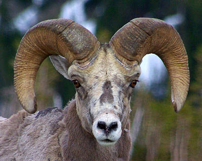 Poster featuring the photograph Rocky Mountain Bighorn by Jack Moskovita