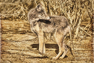 Rocky Mountain Coyote Looking East Poster by Janice Rae Pariza