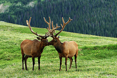 Poster featuring the photograph Rocky Mountain Elk 2 by Marie Leslie