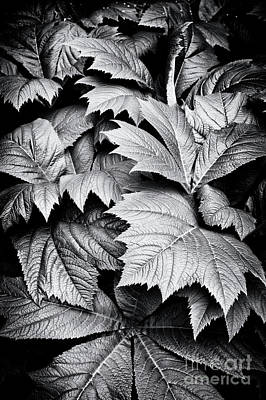 Rodgersia Podophylla Poster by Tim Gainey