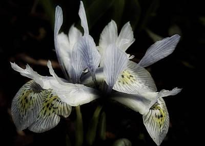 Romantic Dwarf Iris Poster by Richard Cummings