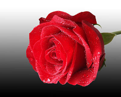 Romantic Rose Poster by Gill Billington