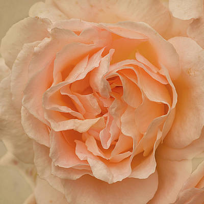Romantic Rose Poster by Jacqi Elmslie
