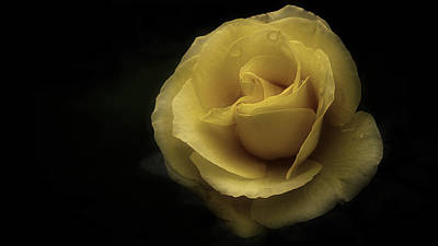Romantic Yellow Rose 2016 Poster by Richard Cummings