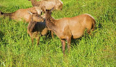 Roosevelt Elk Poster by Kunal Mehra