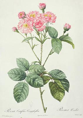 Rosa Centifolia Caryophyllea Poster