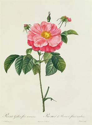 Rosa Gallica Flore Marmoreo Poster by Pierre Joseph Redoute