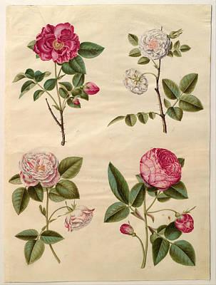 Rosa Gallica Poster by Johannes Simon Holtzbecher